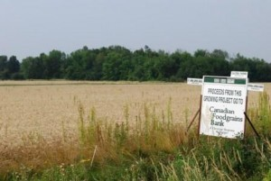 Sharecropper Project Wheat Field August 2014